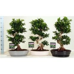 Ficus microcarpa Ginseng in zwart en grijs keramiek