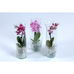 Phalaenopsis Mini 1 spike + Glass Mix + Waterpearls