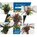 Berberis in soorten