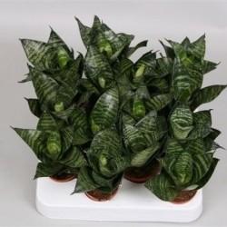 Sanseveria trif.'Green Star'