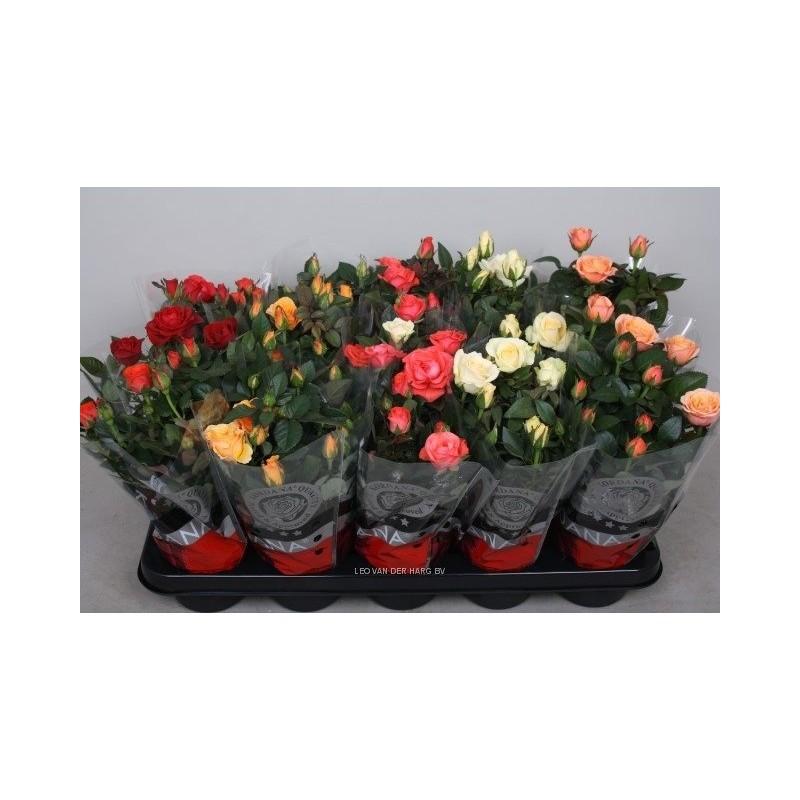 Rosa kordana grande mix ultraverde italia for Roselline in vaso
