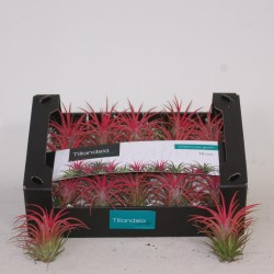 tillandsia creative tillandsia ionantha in showdoos