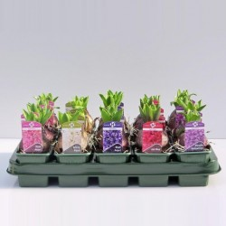 Hyacinthus orientalis gemengd 5 kleuren