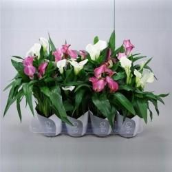 Zantedeschia roze-wit mix