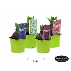 Hyacint gemengd 7cm