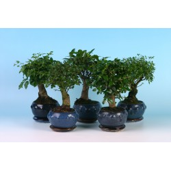 bonsai mix 13 cm broom + plate