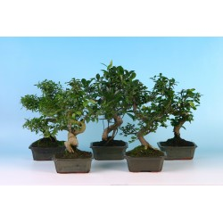 bonsai mix 15 cm shape