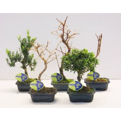 bonsai mix 15 cm outdoor A