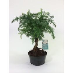 Araucaria Cunninghamii 15.5cm plastic pot