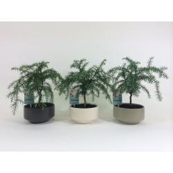 Araucaria Cunninghamii 15cm Pure pot