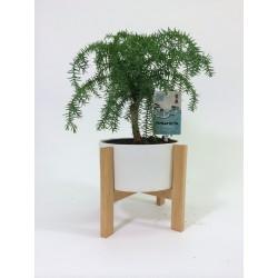 Araucaria Cunninghamii in 19cm Houten Frame