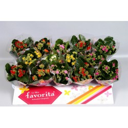 KALANCHOE 6 COLOURS MIXTRAY POT 9CM