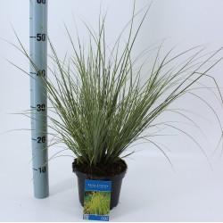 Carex Brunnea Aurreovariagata