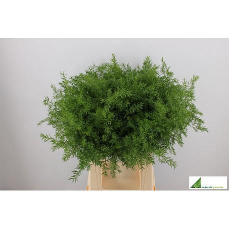 Asparagus cwebe 40cm