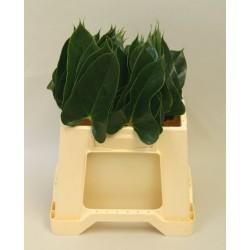 Anthurium blad
