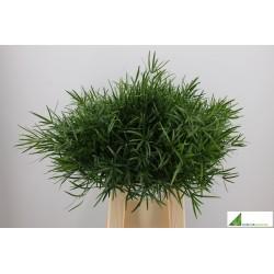 Asparagus falcatus 40cm