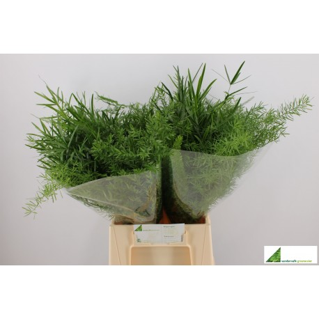 Asparagus mix 40cm