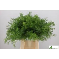 Asparagus Sprengeri 40cm