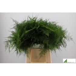 Asparagus setaceus 1e veren 45cm