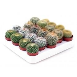 Cactus bol 5,5 cm op rij