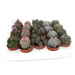 Cactus 5,5 cm special op rij