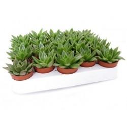 Echeveria agavoides 5,5 cm