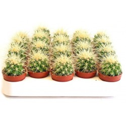 Echinocactus grusonii 5,5 cm