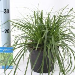 Carex osh. 'Evergreen'
