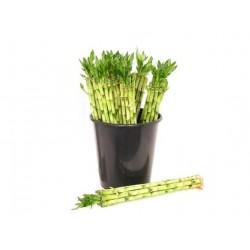 Lucky Bamboo steel 50 cm in emmer