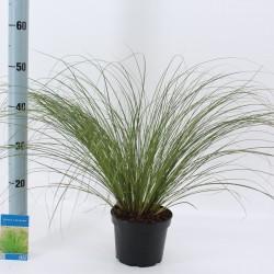 Carex osh. Testacea