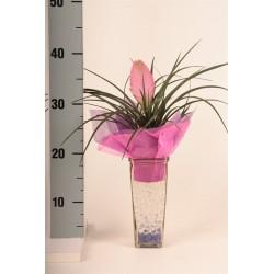 Arrangementen TillandsiaPlant in 4kant glas