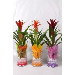 Arrangementen Guzmania Guzm. mix in windlicht met gel