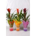 Arrangementen Guzmania Guzmania mix in windlicht glas