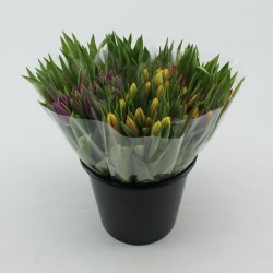 tulp gemengd