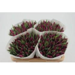 tulp op kleur