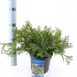 Chamaecyparis obtusa 'Pygmaea'