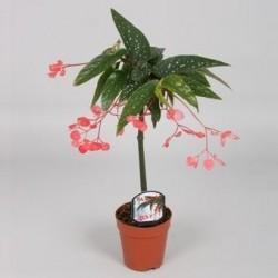 Begonia albo-picta 'Rosea'