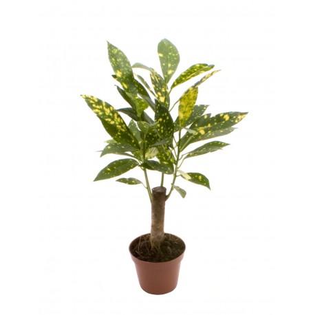Codiaeum Acubafolia