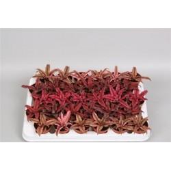 Cryptanthus gemengd