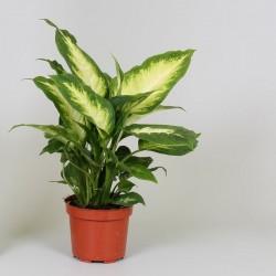 Dieffenbachia 'Camilla'