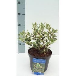 Ilex aquifolium 'Ferox Argentea